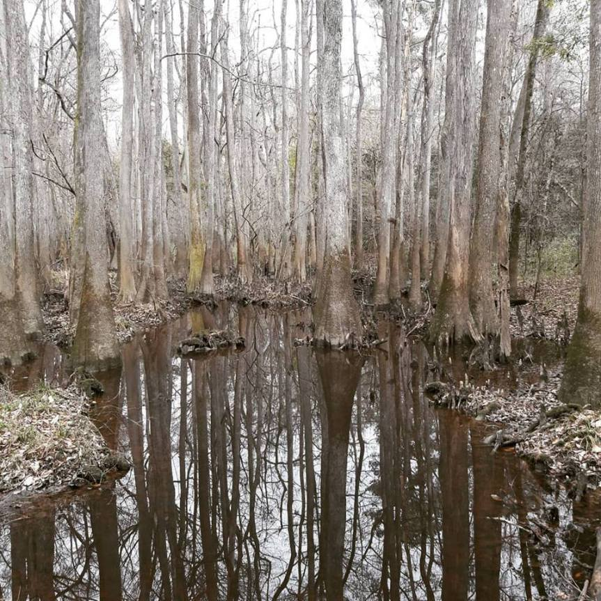 Swampy image of some trees standing in water at Congaree National Park. The flood line on the trees is a good four feet above the current water line, so I suppose we were there for good weather.