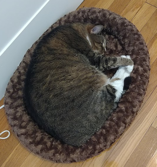 Image of Baker curled up in a large cat bed. It's almost not big enough. He's fat, even with all of the extra exercise.